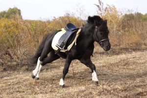 http://www.torange.us/photo/3/13/Pony-under-saddle-1256293045_19.jpg