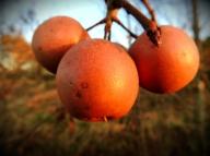 Fruit on a Bradford Pear