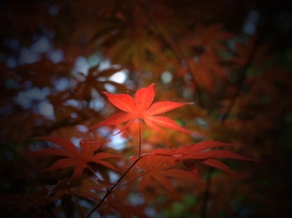 Japanese maple in my neighborhood