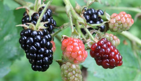 Ripe,_ripening,_and_green_blackberries[2]