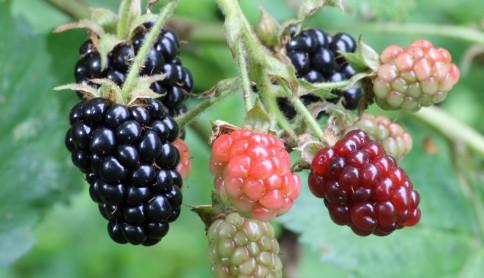Ripe,_ripening,_and_green_blackberries[2]