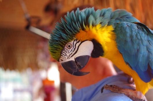 Blue Macaw 2w