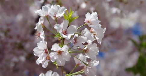 Cherry Blossoms FB