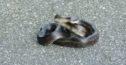 black snakeFB