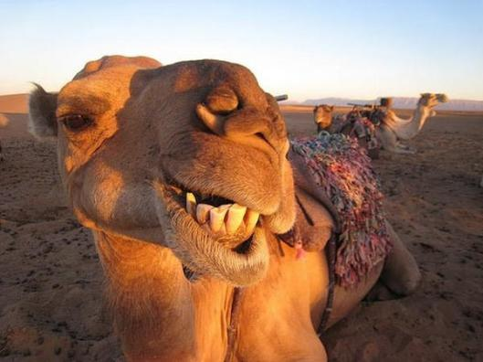 Funny-Camel-39